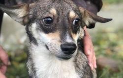 В добрые руки щенки в Владикавказе - объявление №615157
