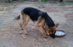 Собака в Соль-Илецке - объявление №617098