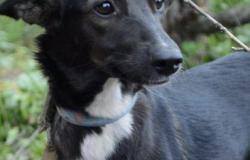 Собака метис уиппет 10 месяцев щенок в Уфе - объявление №617133