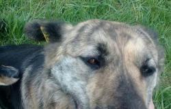 Собака в Абакане - объявление №617222