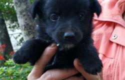 Маленький щенок в Благовещенске - объявление №617433
