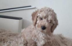 Собака в Томске - объявление №617545
