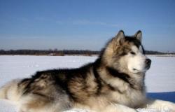 Аляскинский маламут в Керчи - объявление №617553