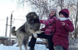 Вязка кавказская овчарка в Сызрани - объявление №617629