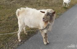 Продам: Продам коз в Людиново - объявление №617651