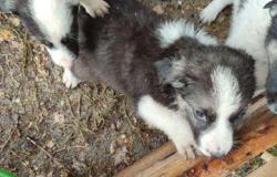 Собаки бесплатно в добрые руки щенки в Северске - объявление №617658