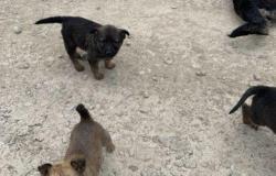 Собака щенки в Краснодаре - объявление №618210